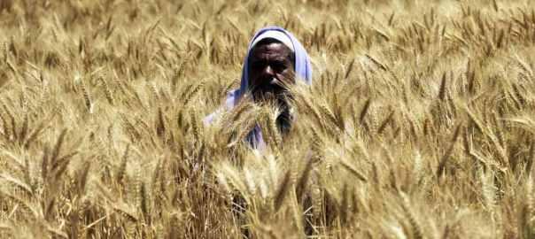 поле пшеницы в Египте