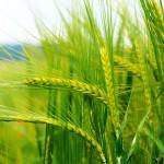 GASC закупил 300 тысяч тонн пшеницы