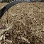 Пояснения по поводу запрета ввоза «зараженной» пшеницы в Египет