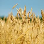 GASC объявил о новом пшеничном тендере
